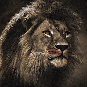 Lion in Sepia by Deb Thomas - Animals Lions, Tigers & Big Cats ( lion, cat, african,  )