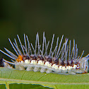 Isabella longwing caterpillar