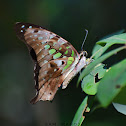Tailed Jay / Green-Spotted Triangle