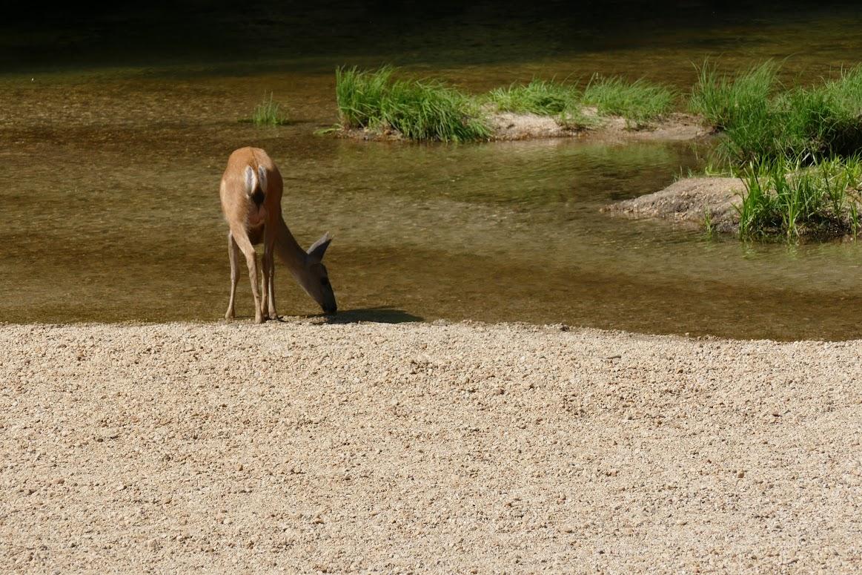 Yosemite - Deer