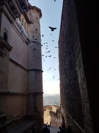 Pigeon in Mehrangarh