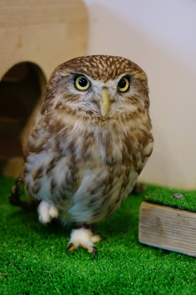 Ohagi, the little owl, relaxing on one foot at Owl Village and Cafe, Harajuku, Tokyo