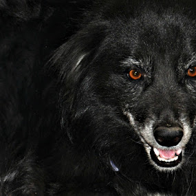 Beware of dogs by Satminder Jaggi - Animals - Dogs Portraits ( black dog, red eyes, pet, dog, dangerous )