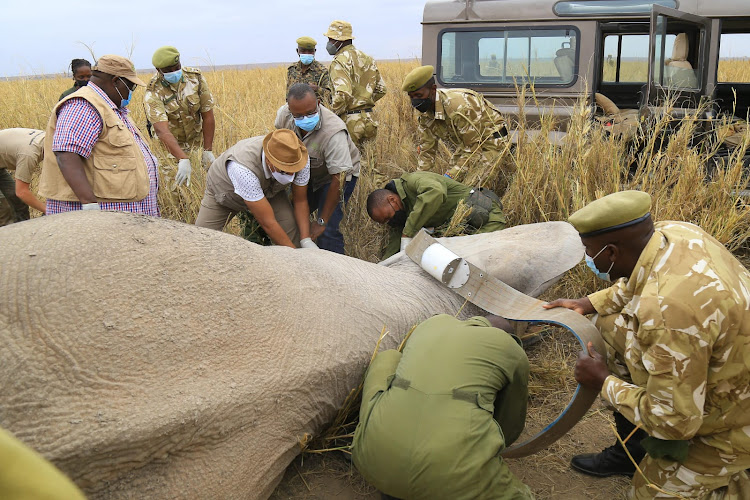 Tourism CS Najib Balala takes part in collaring of a female elephant at Amboseli National park as Wildlife Research Institute acting CEO Dr Patrick Omondi looks on October 9.