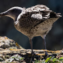 Herring Gull juvenile