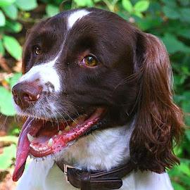 Happy Bailey by Chrissie Barrow - Animals - Dogs Portraits ( springer spaniel, tongue, female, pet, dog, nose, portrait, eyes )
