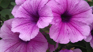 Photo: Petunias - Norbrook Nurseries