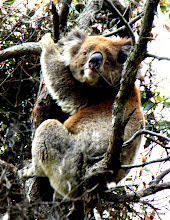 Photo: Year 2 Day 147 -  Our First Koala