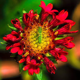 Hybred blanket flower by David Winchester - Flowers Flowers in the Wild
