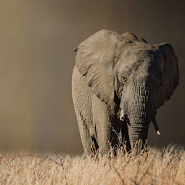 Sad by Krasimir Lazarov - Animals Other ( africa, mammal, south africa, animal, elephant )