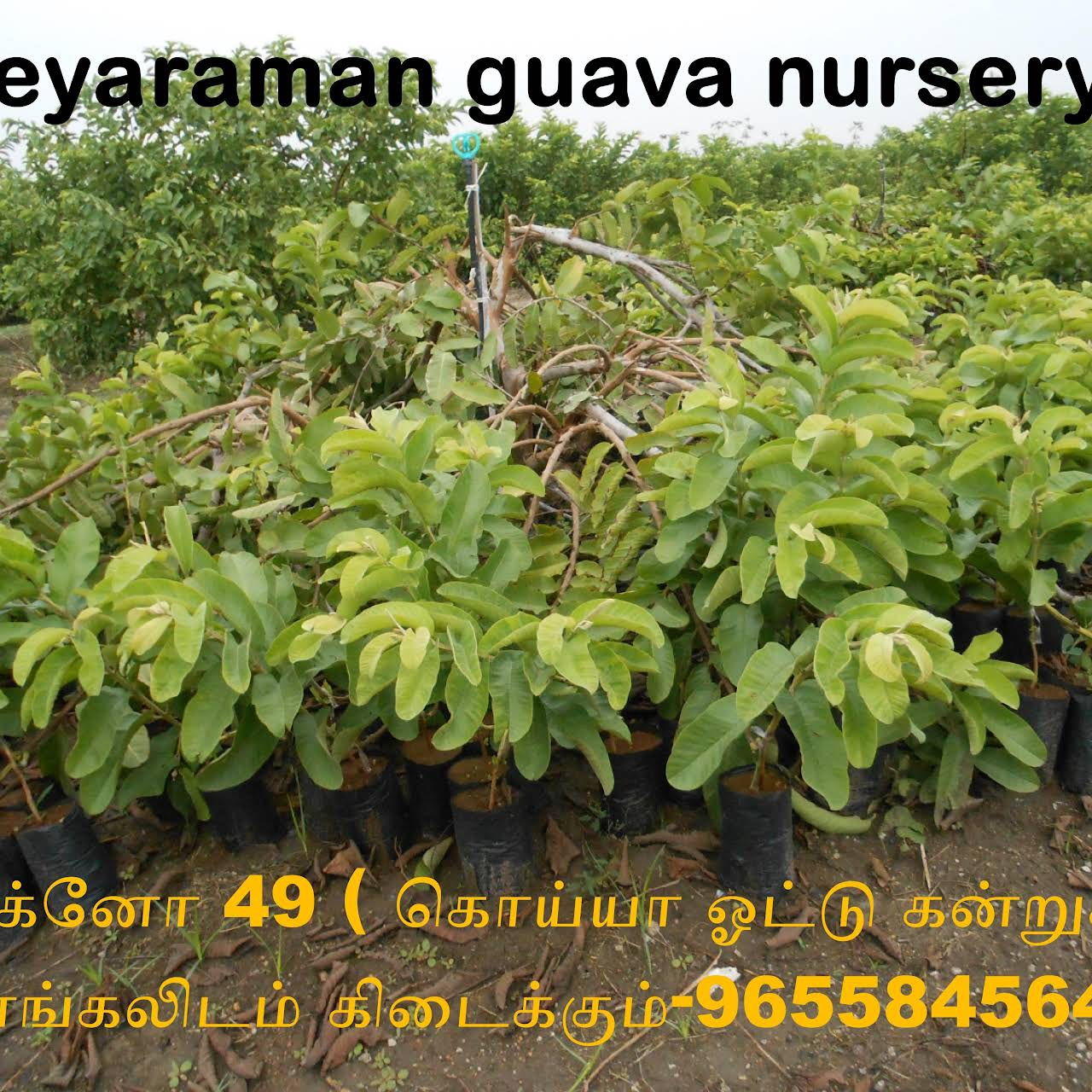 jeyaraman guava plants nursery(available Varieties
