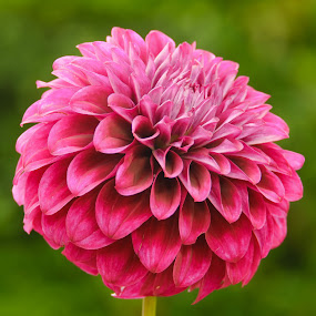 Red Dahlia by Jim Downey - Flowers Single Flower ( red, side view, green, dahlia, petals )