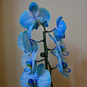 Blu by Jelena Puškarić - Flowers Single Flower ( orhidea, blue, colors, flower )