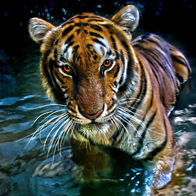 Young Tiger by Dominic Meily - Animals Other Mammals ( tiger, dominic meily, dominicmeily, malabon zoo )