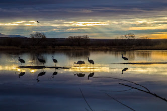 Photo: Sandhill cranes waiting for sunrise at Bosque del Apache.