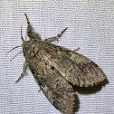 Angulose prominent moth