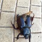 Ox Beetle (female, juvenile?)