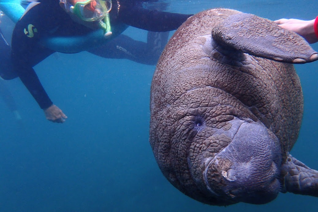 This is a young manatee because he's still relatively