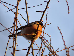 Photo: Priorslee Lake More destruction of the Hawthorn buds courtesy of this male Bullfinch. (Ed Wilson)