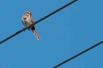 Photo: Song Sparrow (Singammer); Wolfville, NS