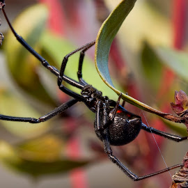 the black widow by Jason Garton - Animals Insects & Spiders