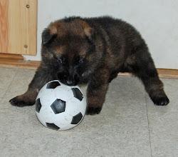 Photo: Grå hann med stor flekk leker med ball 24 dager gammel