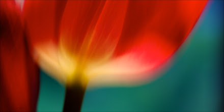 Photo: In love with a tulip