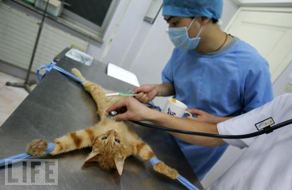 ผลการค้นหารูปภาพสำหรับ ทำหมันแมว
