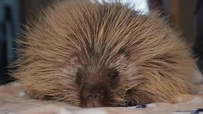 Don't Poke a Sleeping Porcupine thumbnail