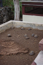 Photo: Baby Tortoises - road to repopulation of the species
