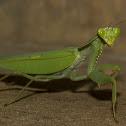 Giant Leaf Mantis