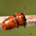 Coptocephala raffrayi