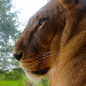 Lonely Lion by Amelia Rice - Animals Lions, Tigers & Big Cats ( nature, wildlife, lions,  )
