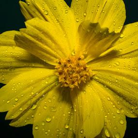Yellow flower with drops closeup by Basant Malviya - Flowers Single Flower ( macro, macro photo, macro flower, yellow, yellow flower, flower,  )