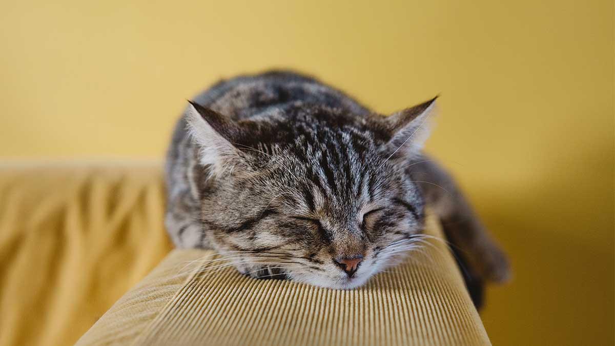 貓咪打噴嚏流眼淚