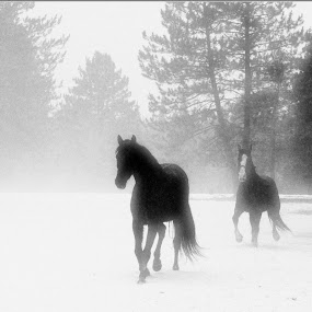 Coming out of the Mist by Anita Atta - Animals Horses ( foggy, equine, winter, rocky mountain, tennessee walker, horse, misty,  )