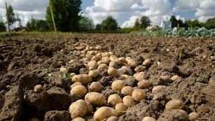 Eficaz en los cultivos de patata y lechuga.