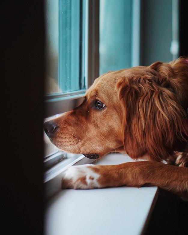Identificá las señales de ansiedad por separación en perros