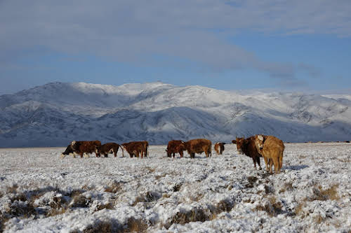 Cows grazing in the snow