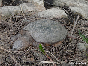 Photo: Dead snapping turtle