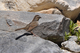 Photo: Lincoln's Sparrow (Lincoln-Ammer); Cosoltepec, PUE