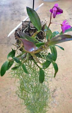 Små Orkideér