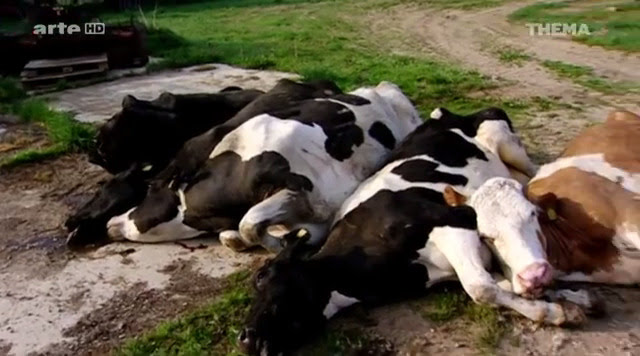 Tote Kühe.
