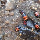 Sap-feeding Beetle