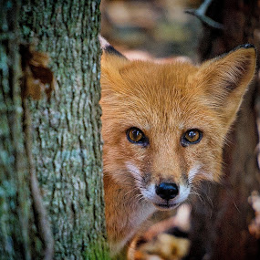 Red Fox by Judy Rosanno - Animals Other Mammals ( fox, closeup, mammal, red fox, animal,  )