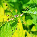 Spoon-tailed short-wing katydid