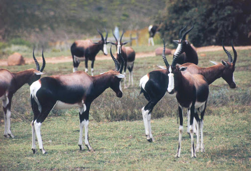 Cape-Town-bontebok - The Bontebok National Park, about 80 miles from Cape Town, is home to more than 300 bontebok (a variety of antelope) in South Africa.