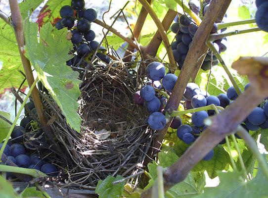 Il nido abbandonato di carlin