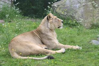 Photo: asiatisk lejon