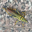 Painted grasshopper
